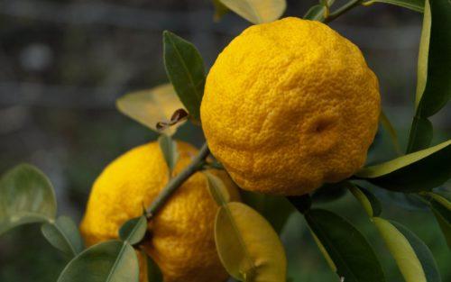 Yuzu citrus vrucht