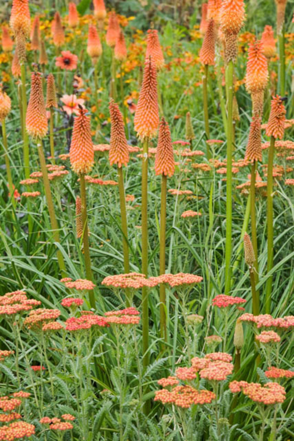 Achillea 'Walther Funcke', Kniphofia 'Alcazar', Dahlia 'Pathfinder' flowering in July - The Savill Garden, Windsor Great Park