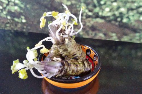 Verse wasabi rhizomen 100 gram