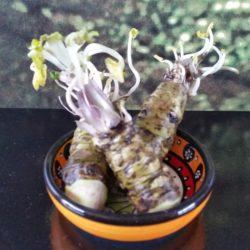 200 gram kleine wasabi rhizomen
