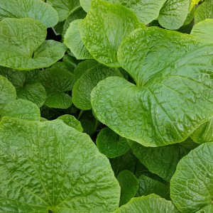 wasabi leaf contains isosaporin which helps hair regrowth and anti-aging