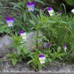 vacht kruiden voor je hond - driekleurig viooltje