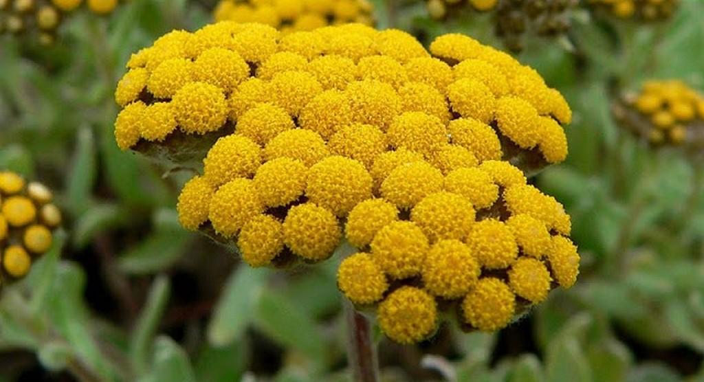 Helichrysum_umbraculigerum, Strobloem
