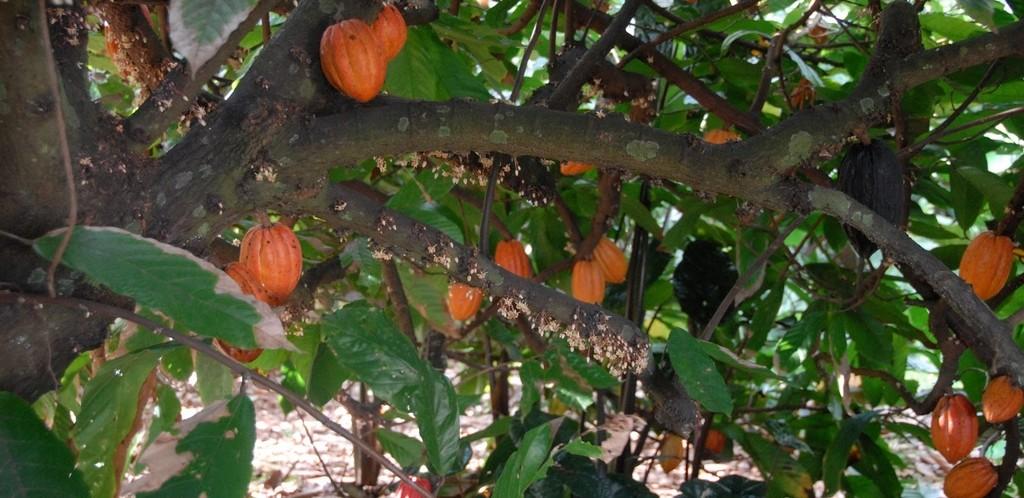Theobroma_cacao, Cacao boom in Brazilië