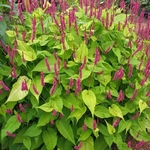 Persicaria amplexicaulis 'Golden Arrow'