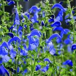 Salvia patens 'Patio Dark Blue'