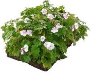 groeimat geranium
