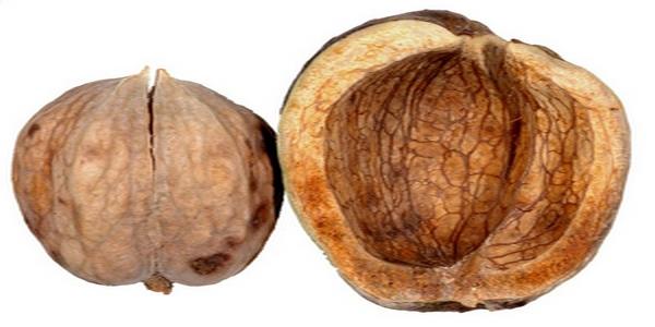 Herfst noten - Koningsnoot, carya laciniosa