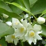 Flower Yuzu