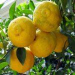 Yuzu - Spaans superfruit