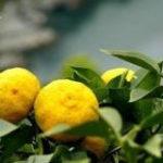 Yuzu - citrus vrucht