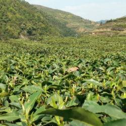 Camelia sinensis, Groene thee