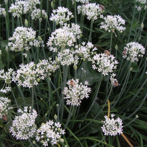 Allium sativum – Knoflook