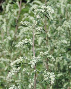 Artemisia vulgaris – Bijvoet