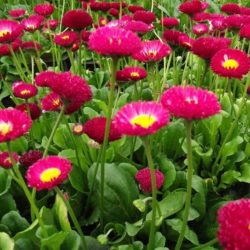Bellis perennis (rood) – Madeliefje