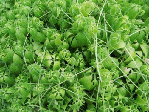 Gynostemma pentaphyllum – Onsterfelijkheidskruid