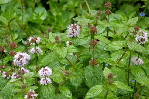 Mentha aquatique – Watermunt