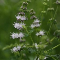 Mentha arvensis 'Strawberry' - Aardbei munt
