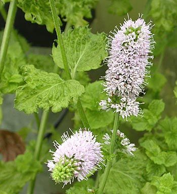 Mentha piperta var crispa 'Turkish mint' – Turkse Munt, Turkse mint
