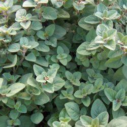 Origanum vulgare 'Hirtum' - Griekse oregano, Peper oregano