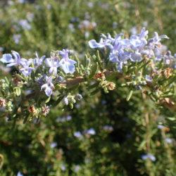 Rosmarinus officinalis 'Tuscan blue' - Rozemarijn 'Tuscan blue'