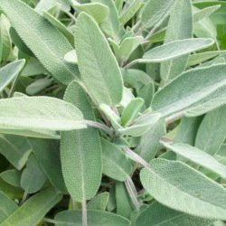 Salvia officinalis – Salie