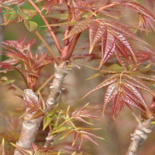Toona sinensis - Chinese maggiboom, Franse-uiensoepboom, groenteboom, Xiang-chun-ya