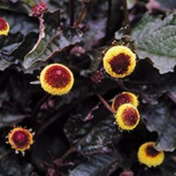 Spilanthes oleracea f. purpurea 'Bull's Eye'- Champagneblad, ABC-kruid of Sechuan Button
