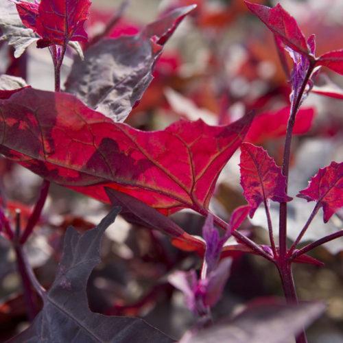 Atriples hortensis - Rode tuinmelde