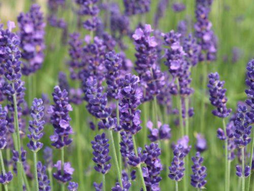 Lavendula angustifolia – Lavendel