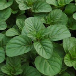 Mentha spicata 'Orange' - Sinaasappel munt