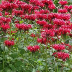 Monarda 'Cambridge Scarlet' – Rode Bergamot