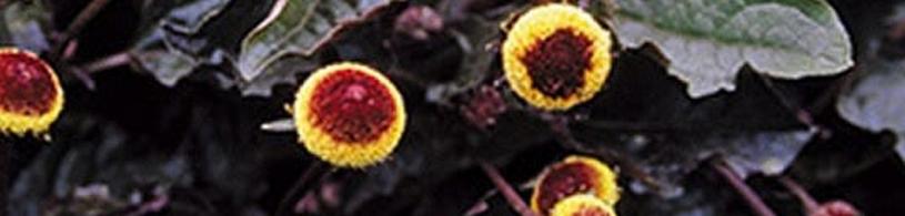 ABC-kruid in de kruiden EHBO wand