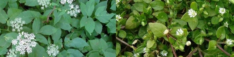 Zevenblad en Vogelmuur