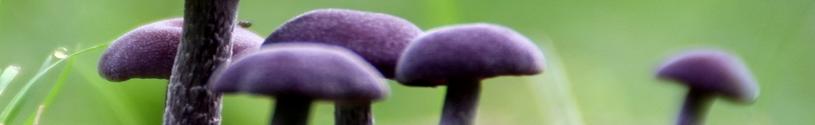 blauw - paddenstoelen zoals de amethistzwam maar ook anderen behoren bij blauw voedsel