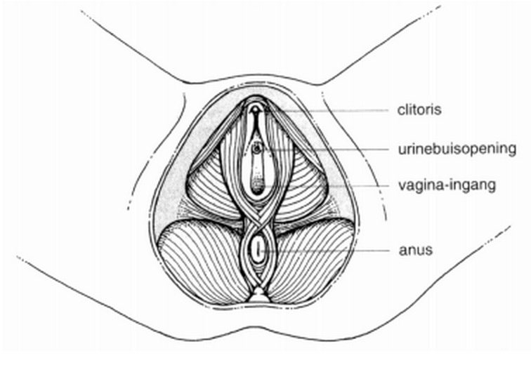 reflexologie vrouwelijk bekken -totaalaanzicht spieren bekken