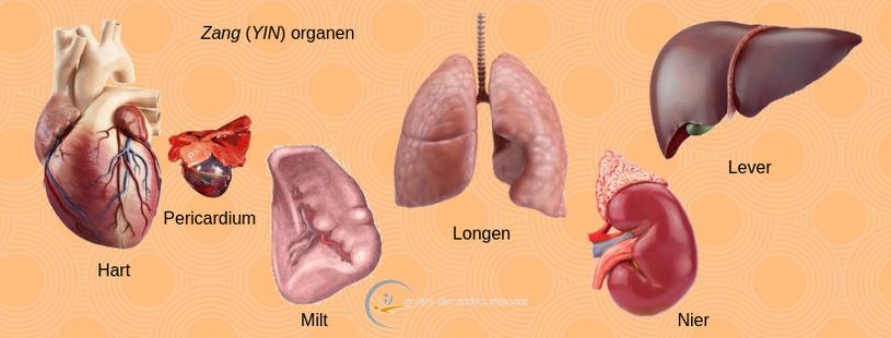Zang organen