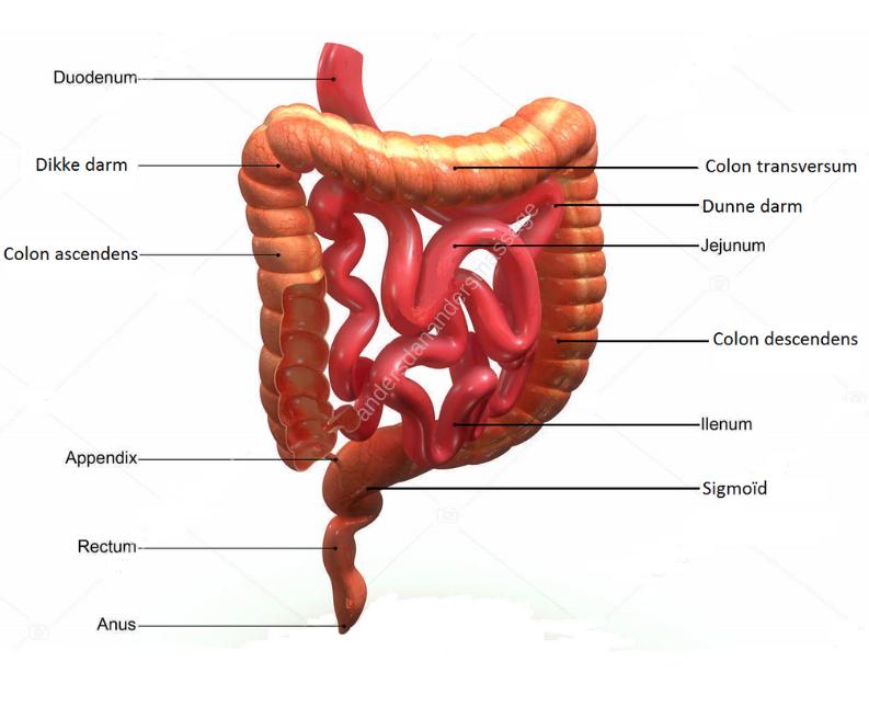 De Dikke darm bestaat uit de volgende onderdelen
