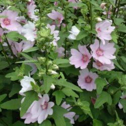 Lavatera rosea, struik malva. een prachtige struik die lang bloeit en druk bezocht wordt door bijen en hommels