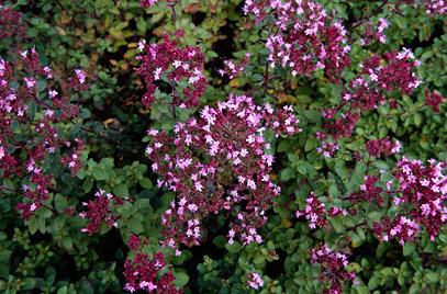 van de Origanum vulgare 'Compactum' (Wilde compacte Marjolein) is de smaak meer intens dan van de Origanum vulgare. (Wilde Marjolein)