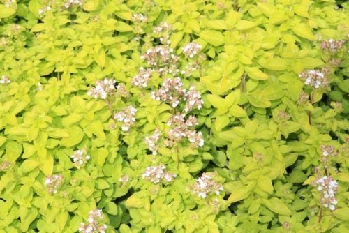 Origanum vulgare 'Thumble's Variety', Goud oregano