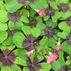 De Oxalis tetraphylla is beter bekend als het Klavertje 4 of ookwel Geluksklavertje