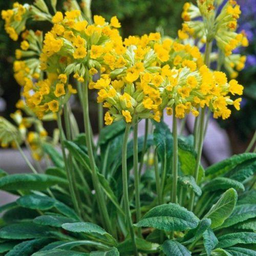 Primula veris, of Peters sleutel. Een klein vroegbloeiend kruid , heerlijk in salade voor een prettig mondgevoel