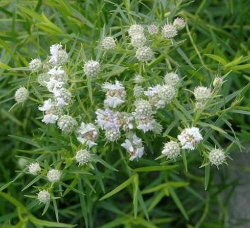 Pycnanthemum pilosum, of bergmunt met frisse blaadjes voor thee of salade