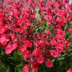 Salvia x jamensis, Cassis-salie sankt zijn naam aan de heerlijks kers-nuance van haar zoete bloemen