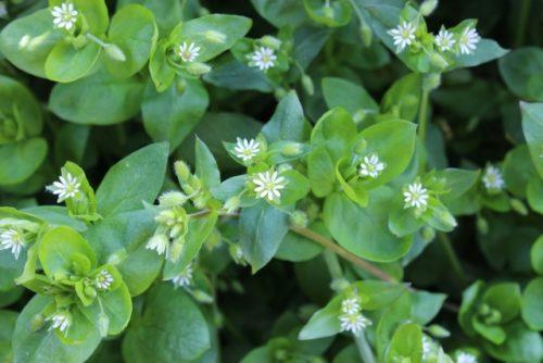 Stellaria media, Vogelmuur is een gezonde en versterkende plant