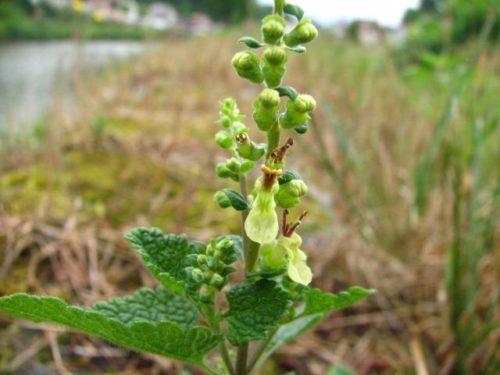 Teucrium scorodonia, Lijfwater of Valse Salie lijkt in geen opzicht op salie maar is wel een zeer bijzondere plant