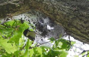 Koolmees eet eikenprocessierups uit nest van een Zomereik (Quercus robur) . bron Nature Today
