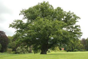 Zomer Eik - Quercus robur