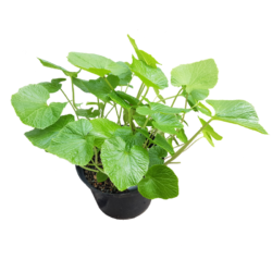 Wasabi planten 7+ in 5 liter pot